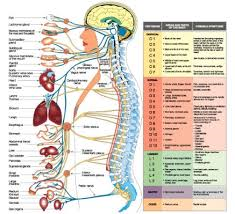 Coordinating the Function: Nervous System and Immune System Intertwined